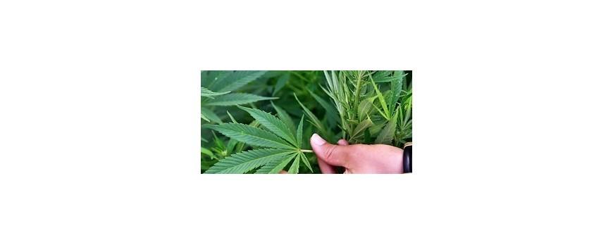 Marijuana medicinala ar putea ameliora unele simptome din scleroza multipla